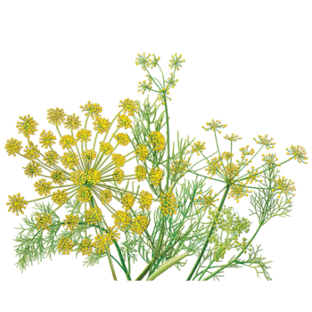 Fennel Herbal Supplement