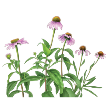Echinacea Herbal Supplement