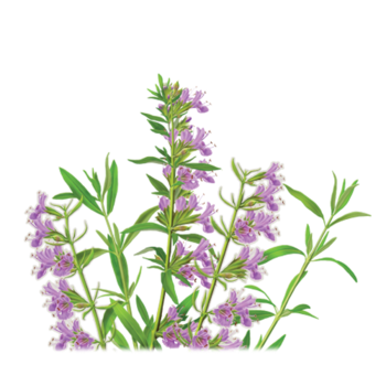 Hyssop Herbal Supplement