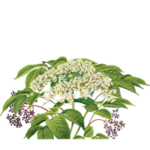Elder Flower Herbal Supplement