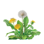 Dandelion Root Herbal Supplement