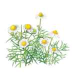 Chamomile Herbal Supplement