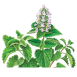 Catnip Herbal Supplement