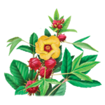 Hibiscus Herbal Supplement