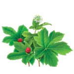 Goldenseal Herbal Supplement