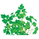 Parsley Herbal Supplement