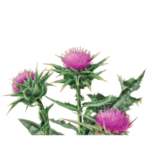 Milk Thistle Herbal Supplement