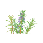 Rosemary Herbal Supplement
