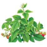 Raspberry Herbal Supplement