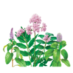 Valerian-Peppermint Herbal Supplement