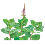 Spearmint Herbal Supplement